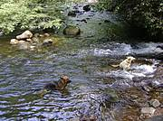 Our dogs enjoy the rivers..